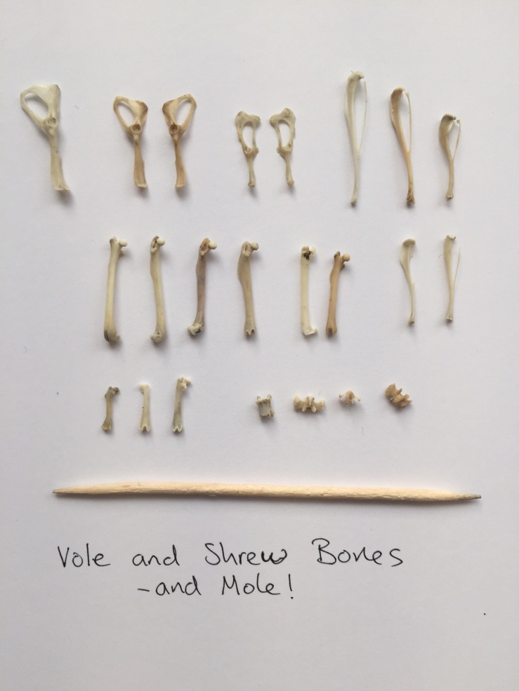 vole and shrew bones.JPG