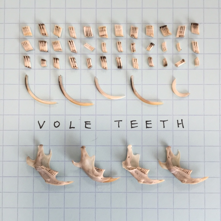 vole teeth.JPG
