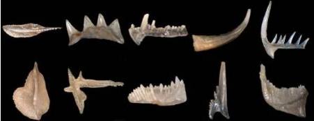 conodonts.png