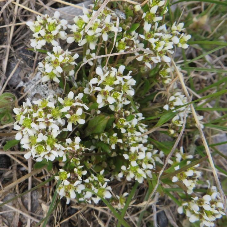 Polar Scurvygrass. Likes to grow under bird cliffs.JPG