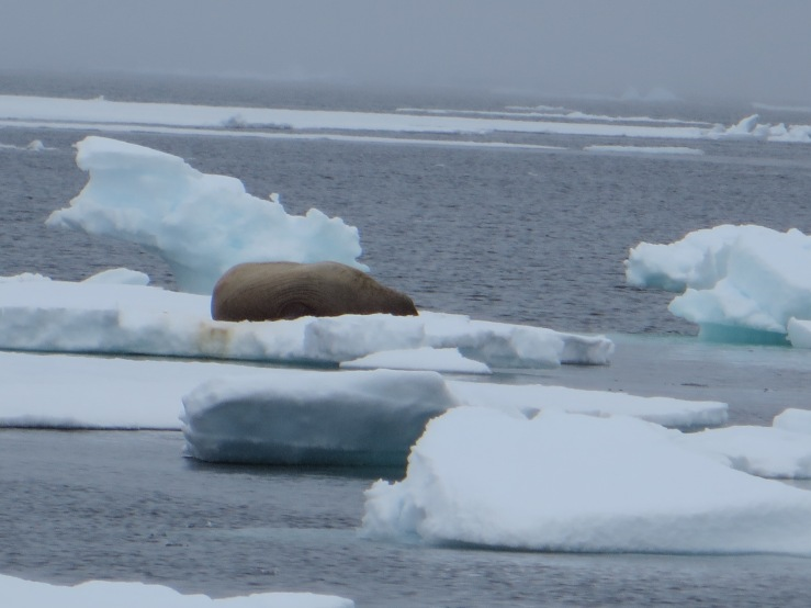 wrinkly walrus.JPG