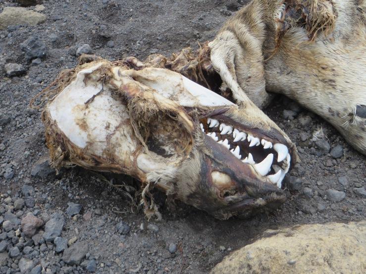 leopard teeth copy.JPG