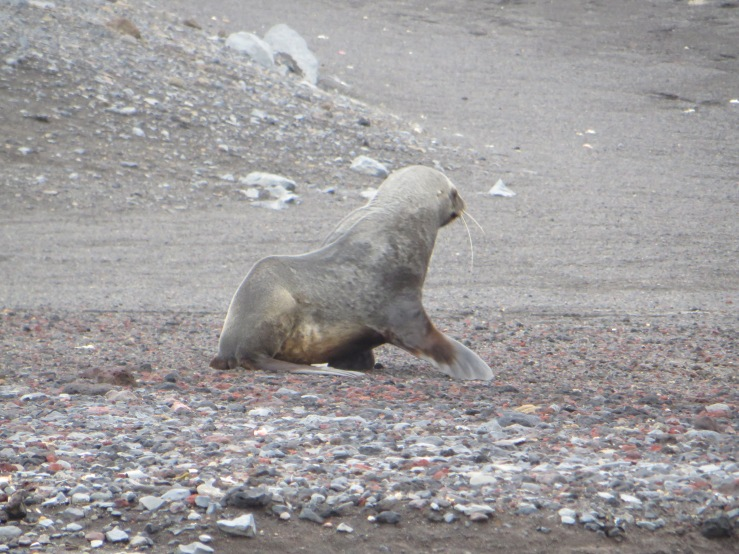 sealion walking copy.JPG