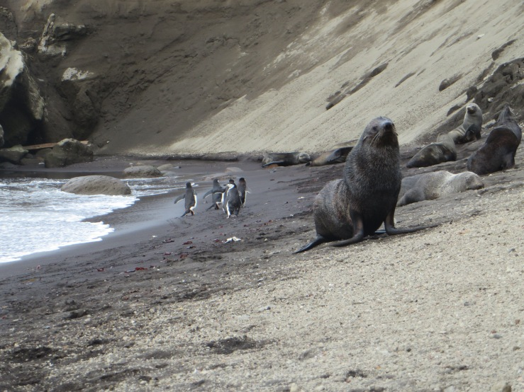 sealions and pengs copy.JPG