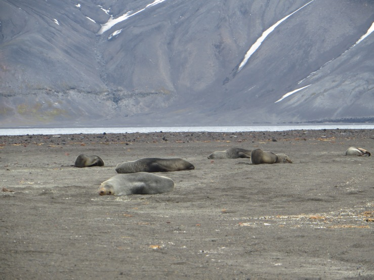 sealions on the beach copy.JPG