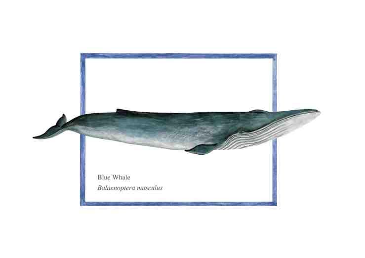 Blue whale 72 copy