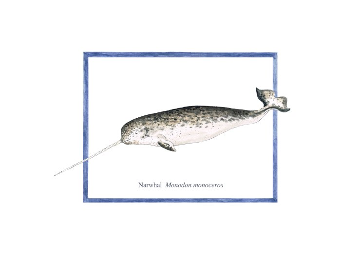 narwhal 72 copy